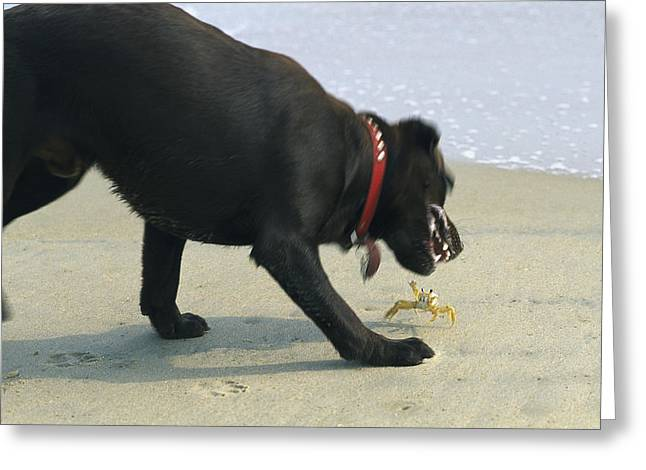 A Dog And A Crab Threaten Each Other Greeting Card by Stephen Alvarez