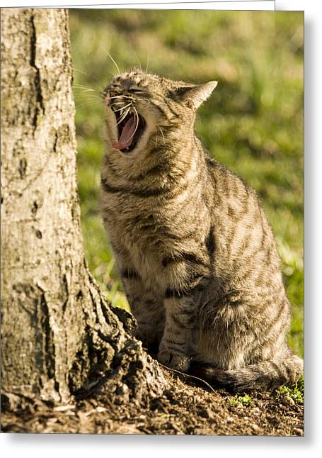 A Domestic Cat Yawning By A Tree Greeting Card by Tim Laman