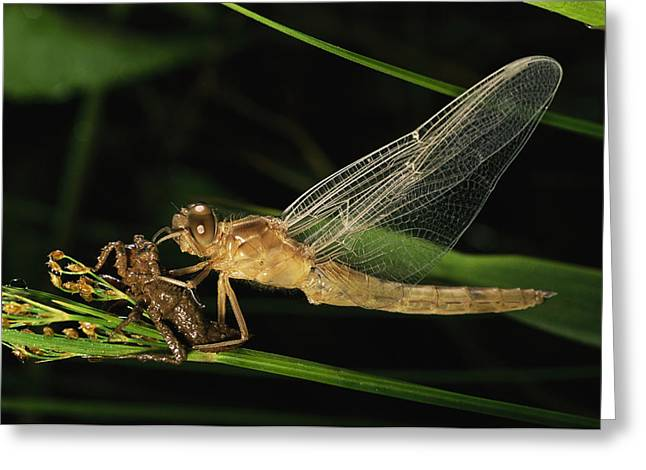A Dragonfly, Family Libellulidae Greeting Card by Tim Laman