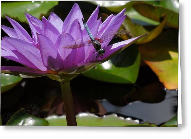 A Dragonfly Guarding His Water Lily Greeting Card by Chad and Stacey Hall
