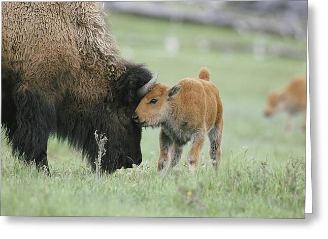 A Female Bison Bison Bison Stands Greeting Card by Tom Murphy