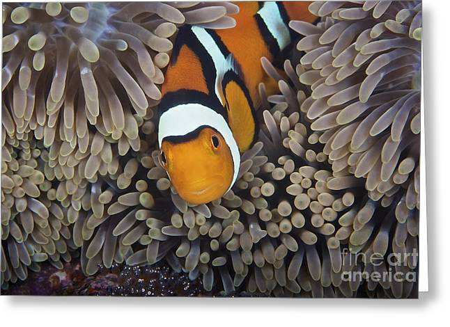 A Female Clownfish Looks After Her Eggs Greeting Card