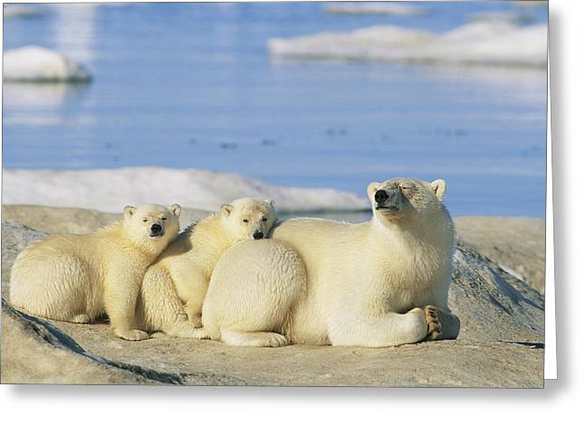A Female Polar Bear And Her Cubs Greeting Card by Norbert Rosing
