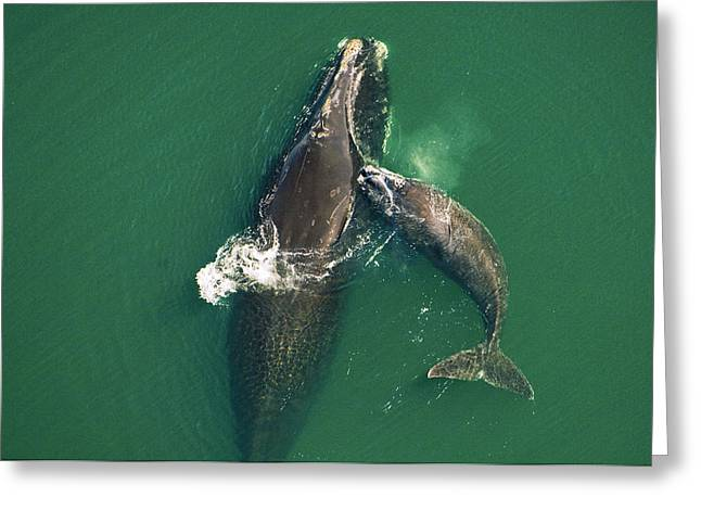 A Female Right Whale Gets A Playful Greeting Card by Brian J. Skerry