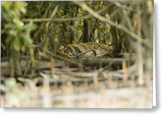 A Female Tiger Rests In The Undergrowth Greeting Card by Tim Laman