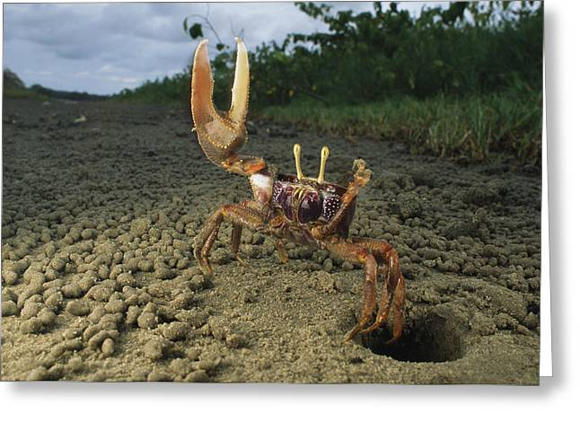 A Fiddler-type Crab With Claw Raised Greeting Card by Michael Nichols