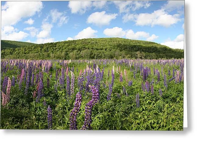A Field Of Lupines Greeting Card
