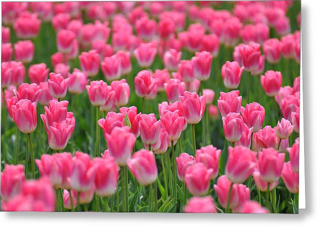 Greeting Card featuring the photograph A Field Of Pink Tulips by Ronda Broatch