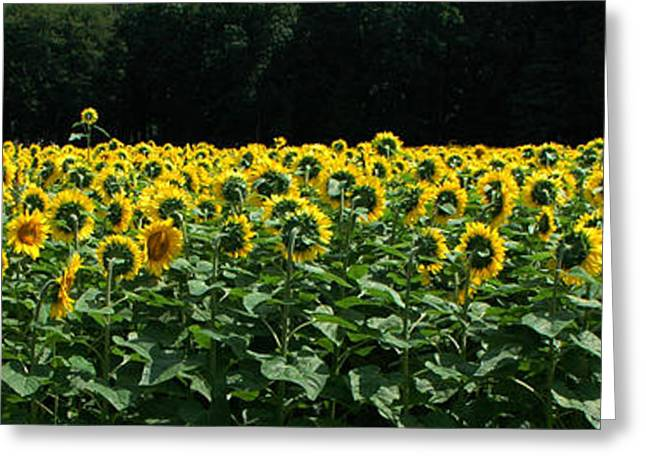 A Field Of Sunflowers Panoramic Greeting Card