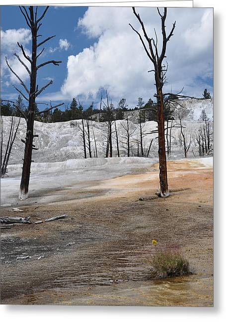 A Flower Blooms In Mammoth Hot Springs Greeting Card