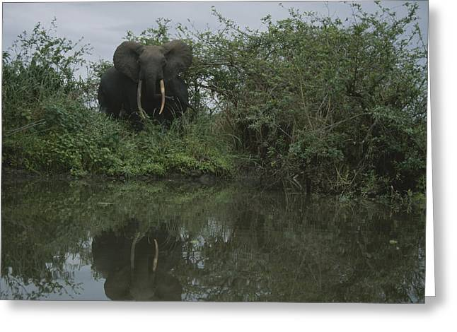 A Forest Elephant In Gabons Loango Greeting Card by Michael Nichols
