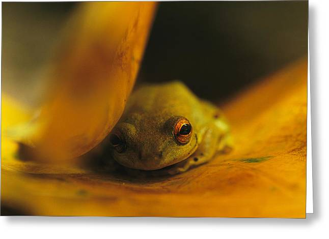 A Frog Resting On A Yellowed Leaf Greeting Card by Michael Nichols