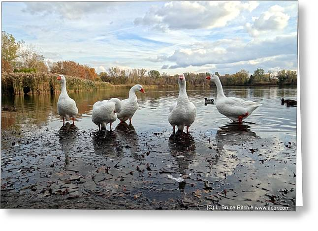 A Gaggle Of Geese 1 Greeting Card