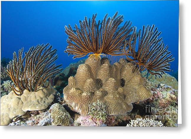 A Gathering Of Crinoid Feather Stars Greeting Card
