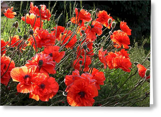 A Gathering Of Poppies Greeting Card