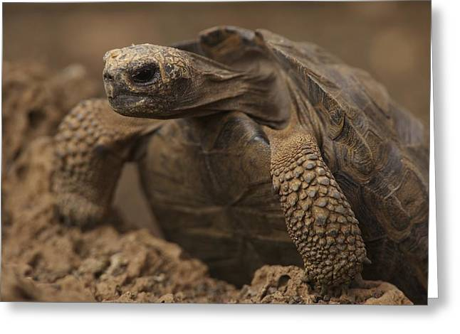 A Giant Galapagos Tortoise Crawling Greeting Card by Ralph Lee Hopkins