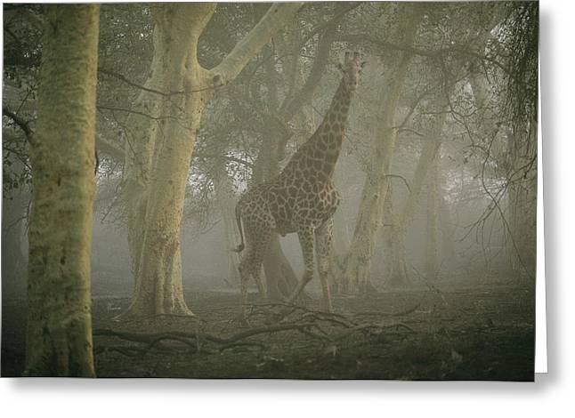 A Giraffe Walking In A Misty Forest Greeting Card