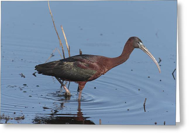 A Glossy Ibis Wades For Food In A Salt Greeting Card by George Grall