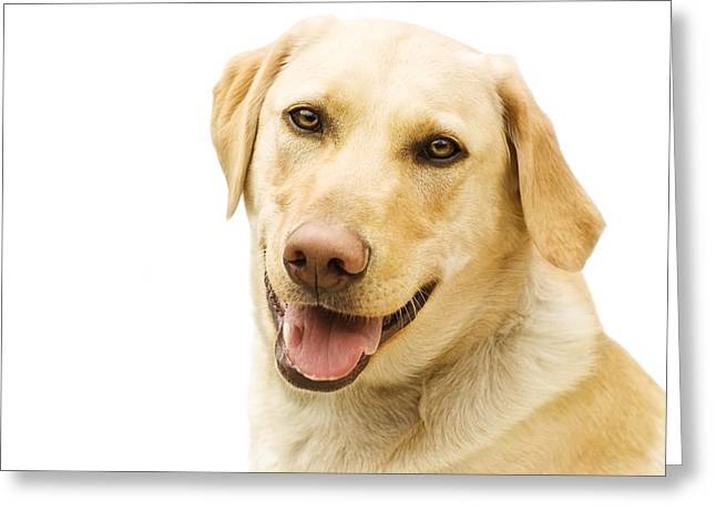 A Golden Labrador Greeting Card by Chris Knorr