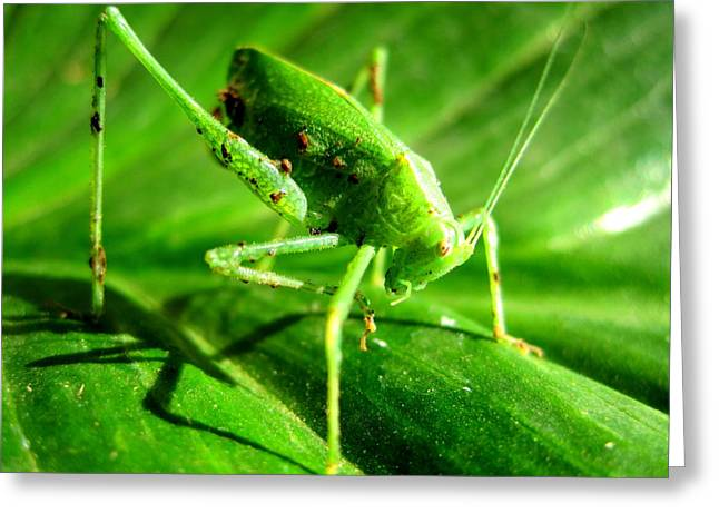 A Grasshopper Cleans Itself Greeting Card by Catherine Natalia  Roche
