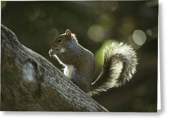 A Gray Squirrel Eating A Nut Greeting Card