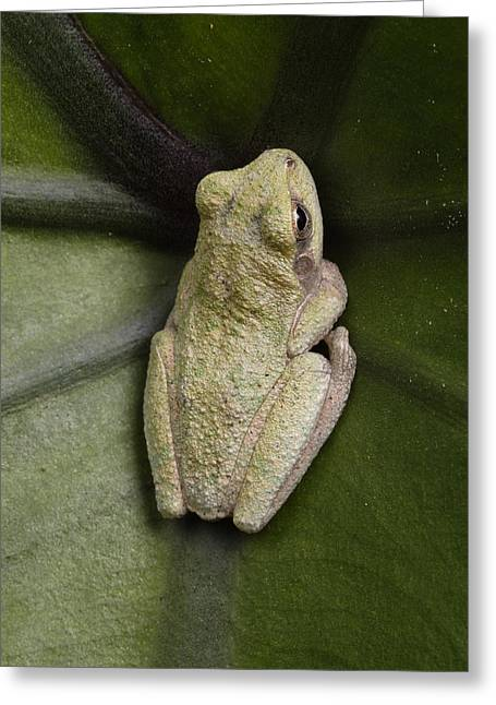 A Gray Treefrog Hunkers Greeting Card