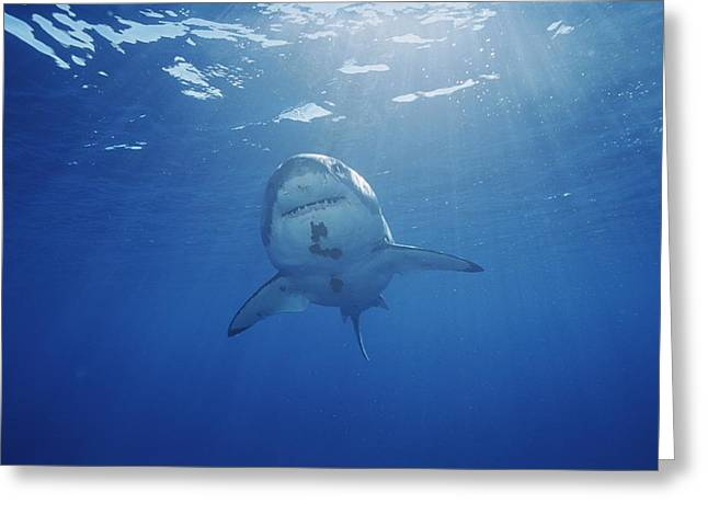 A Great White Shark Swims Greeting Card by Brian J. Skerry