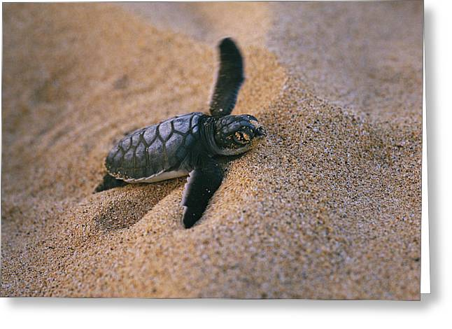 A Green Turtle Hatchling Struggling Greeting Card by Wolcott Henry
