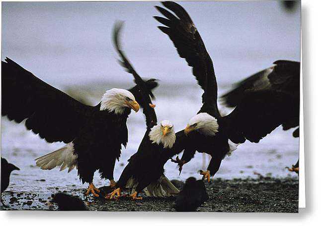 A Group Of American Bald Eagles Fight Greeting Card by Klaus Nigge