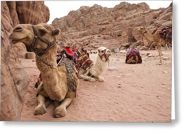 A Group Of Camels Sit Patiently Greeting Card by Taylor S. Kennedy