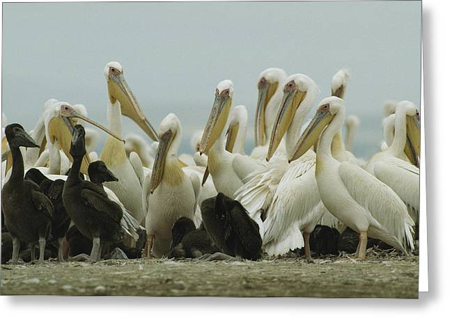 A Group Of Eastern White Pelicans Greeting Card