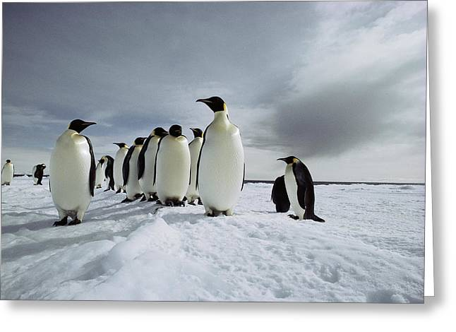 A Group Of Emperor Penguins Strolling Greeting Card by Bill Curtsinger