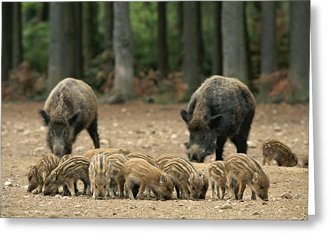 A Group Of Young Wild Boars Nose Greeting Card by Norbert Rosing
