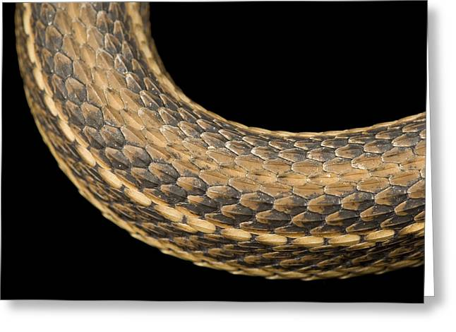 A Gulf Marsh Snake, Nerodia Fasciata Greeting Card by Joel Sartore