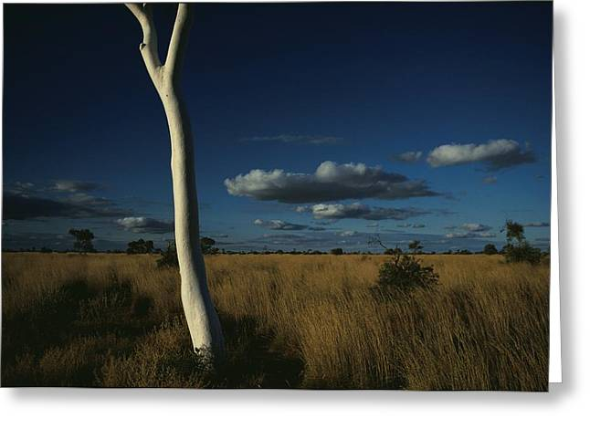 A Gum Tree Rises Above Grasses Greeting Card by Medford Taylor