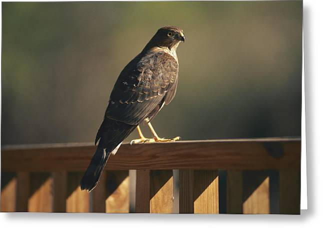 A Hawk Takes A Rest On A Porch Rail Greeting Card by George F. Mobley