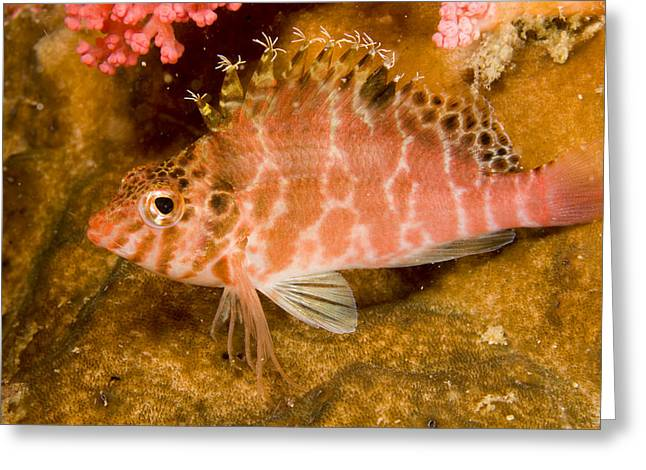 A Hawkfish Resting On Coral Greeting Card