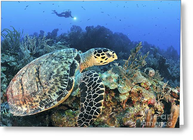 A Hawksbill Turtle Swims Greeting Card by Karen Doody