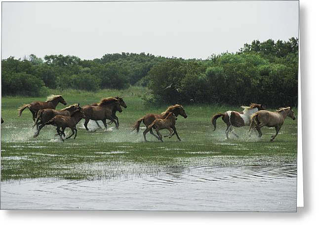 A Herd Of Chincoteague Ponies Thunder Greeting Card by Medford Taylor