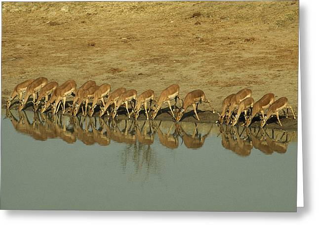 A Herd Of Impala Drinking At A Watering Greeting Card by Jason Edwards