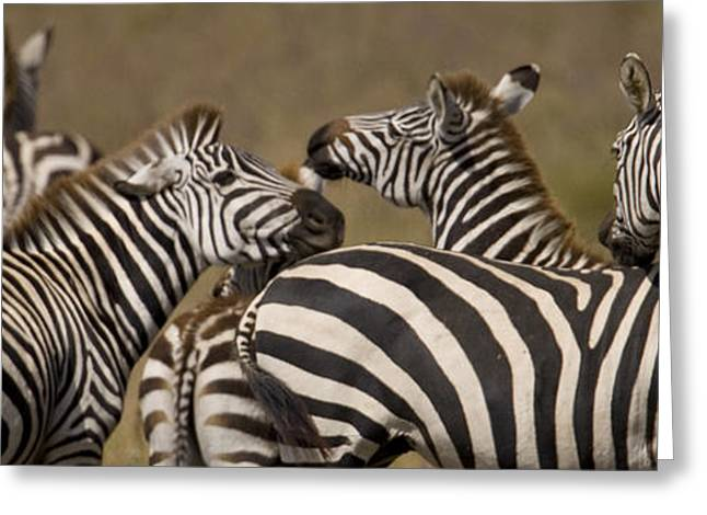A Herd Of Zebra Stand In A Plain Greeting Card by Ralph Lee Hopkins