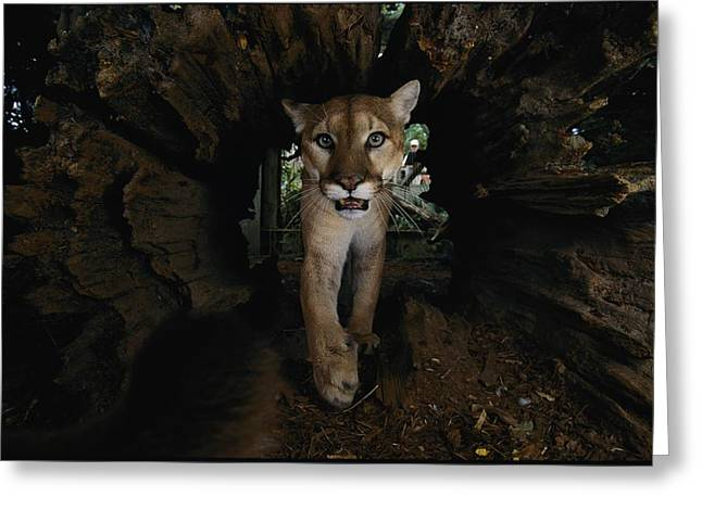 A Hissing Cougar Prowls The Louisiana Greeting Card by Michael Nichols