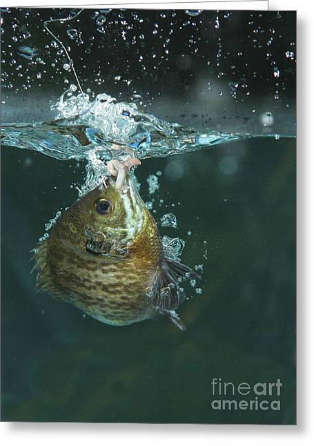 A Hooked Bluegill Greeting Card by Ted Kinsman