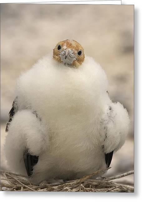 A Juvenile Great Frigatebird, Fregata Greeting Card by Ralph Lee Hopkins