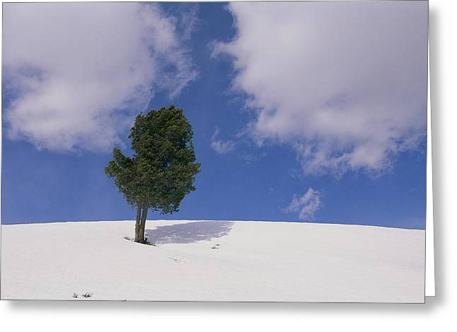 A Lone Whitebark Pine Tree On A Snowy Greeting Card by Raymond Gehman