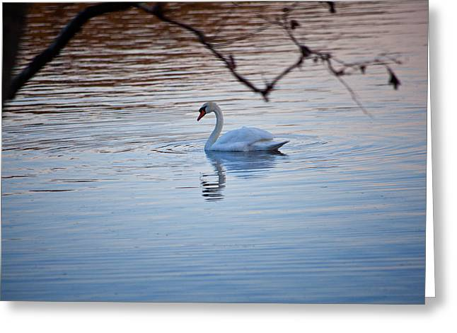 A Lonely Swans Late Afternoon Greeting Card by Karol Livote