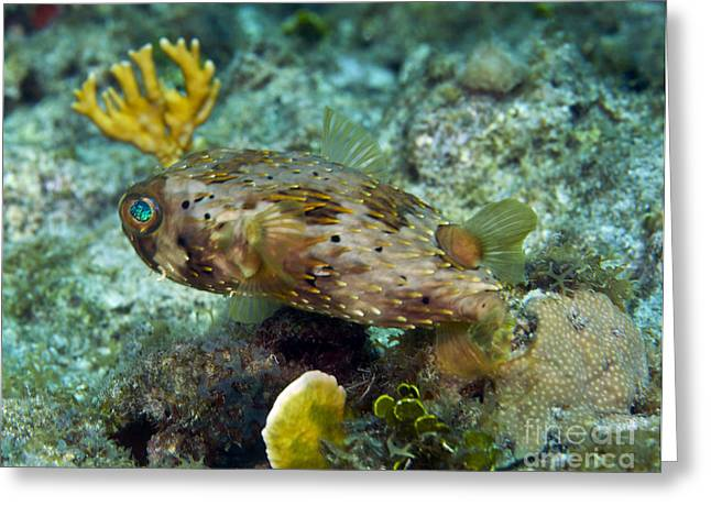 A Long-spined Porcupinefish, Key Largo Greeting Card by Terry Moore