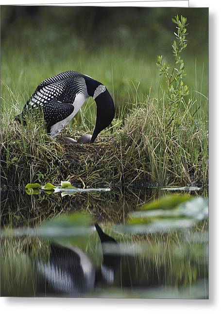 A Loon Raises Itself To Turn Its Eggs Greeting Card by Michael S. Quinton