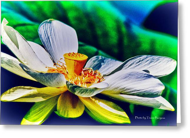 Greeting Card featuring the photograph A Lotus Brightly by Travis Burgess