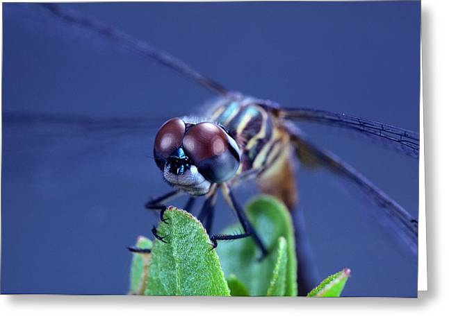 A Male Blue Dasher Dragonfly Greeting Card by Robert Sisson